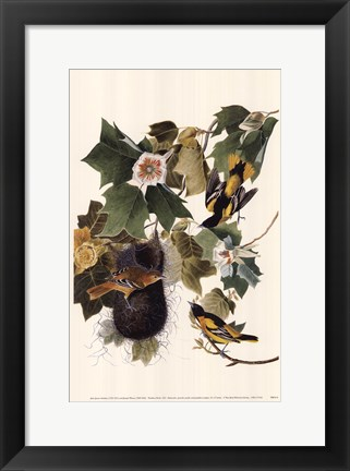 Framed Northern Oriole Print