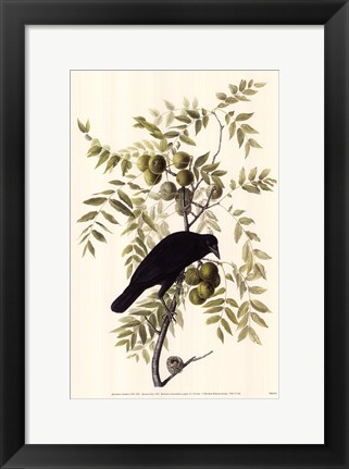 Framed American Crow Print