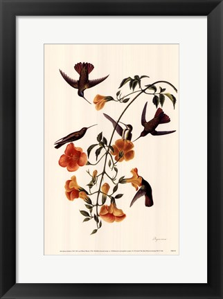 Framed Black-Throated Mango Print