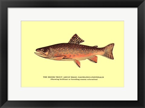 Framed Brook Trout (Showing Brilliant or Breeding Season Coloration) Print