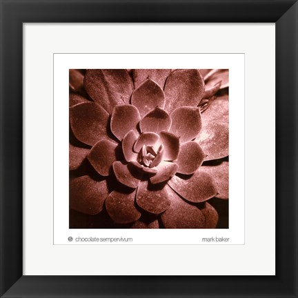 Framed Chocolate Sempervivum Print