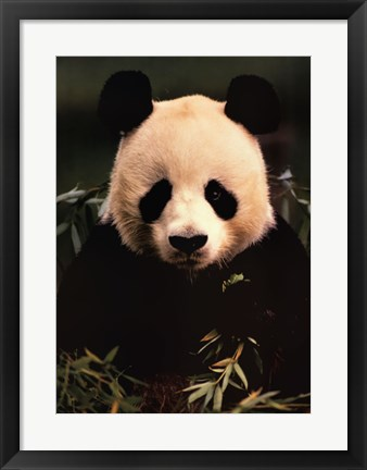 Framed Giant Panda Feeding on Bamboo Print