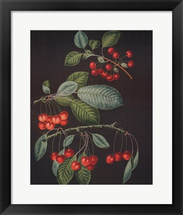 Framed Cherries (A) Print