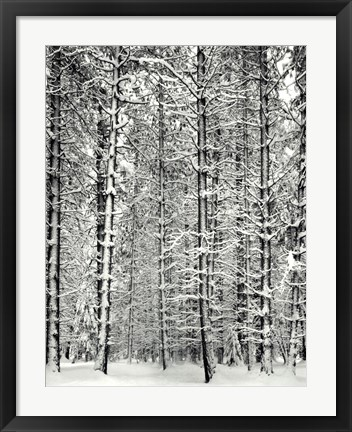 Framed Pine Forest In The Snow, Yosemite Nation Print