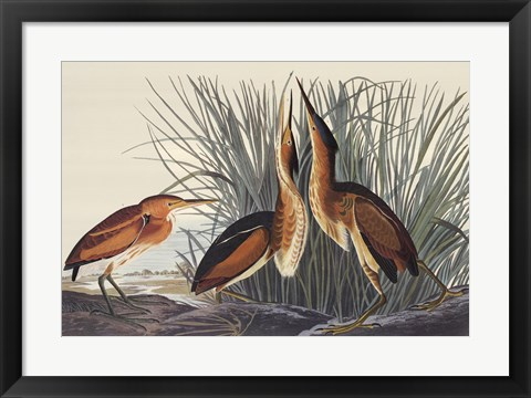 Framed Least Bittern Print