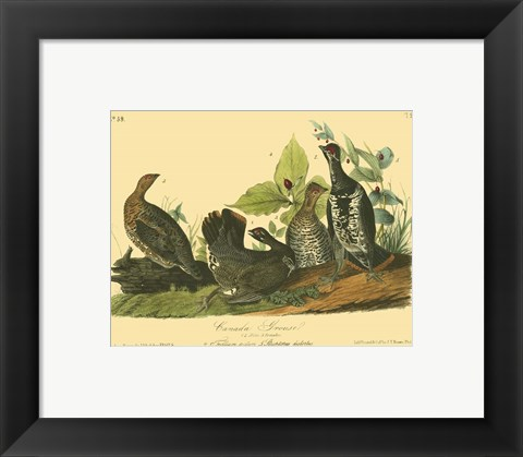 Framed Canada Grouse Print