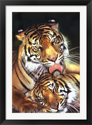 Framed Tigers - Mother's Love Print