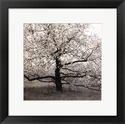 Framed Apple Tree In Bloom Print