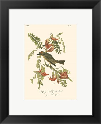 Framed Pipiry Flycatcher Print