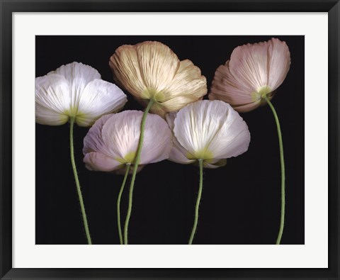 Framed Cream Poppies Print