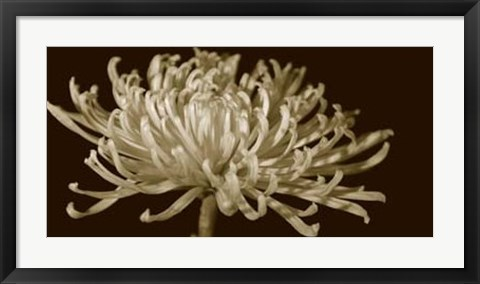 Framed Mammoth Mums I Print
