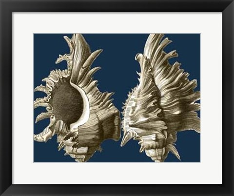 Framed Conch Shells on Navy II Print