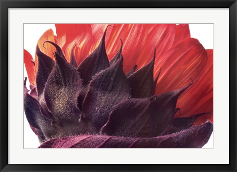 Framed Red Sunflower Print