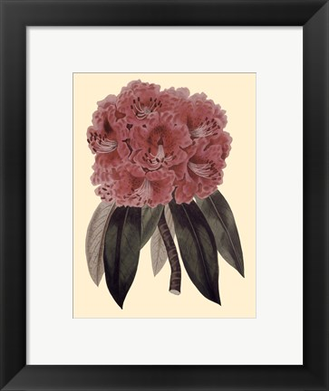 Framed Regal Rhododendron Print