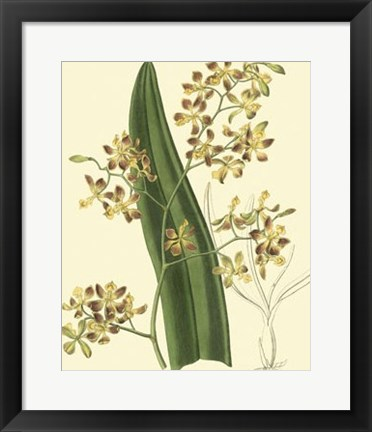 Framed Antique Orchid Study II Print