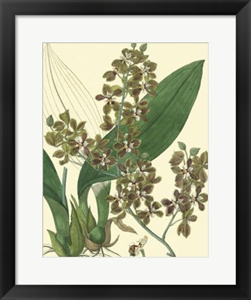 Framed Antique Orchid Study III Print