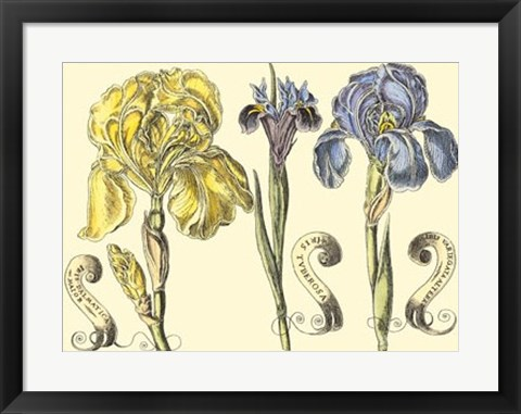 Framed Iris in Bloom I Print