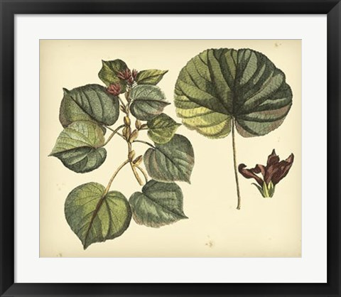 Framed Antique Mangrove Tree Print