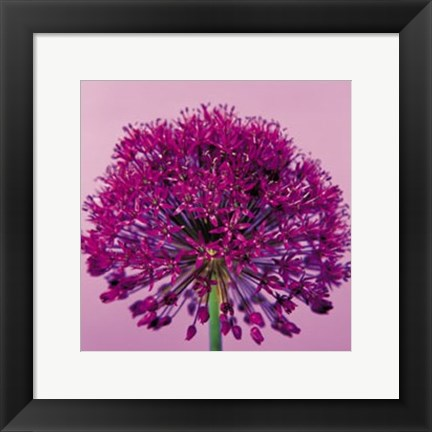 Framed Pink Allium Print