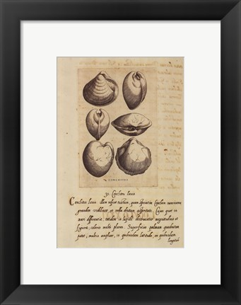 Framed Shell Series 4 Print