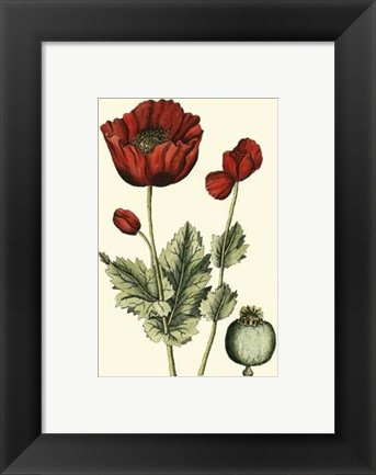 Framed Small Poppy Blooms I (P) Print