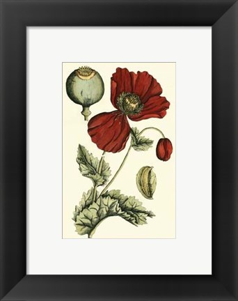 Framed Small Poppy Blooms II (P) Print