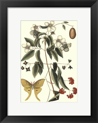 Framed Sm Catesby Butterfly&Botan. III (P) Print