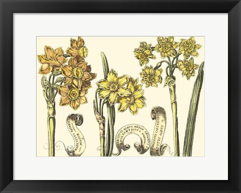 Framed Small Narcissus in Bloom I (P) Print