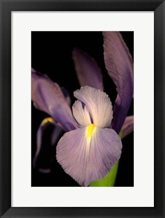 Framed Small Sweet Iris II (U) Print