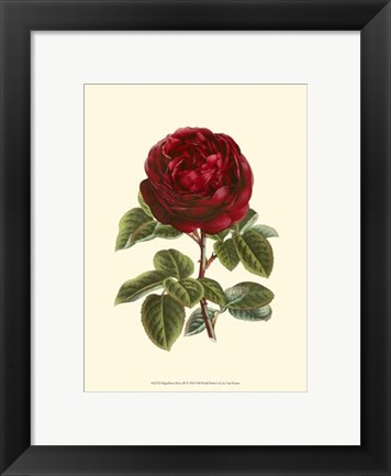 Framed Magnificent Rose III Print