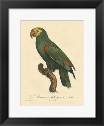 Framed Small Barraband Parrot PL 86 (IP) Print