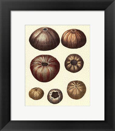 Framed Crackled Antique Shells III Print