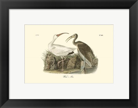 Framed White Ibis Print