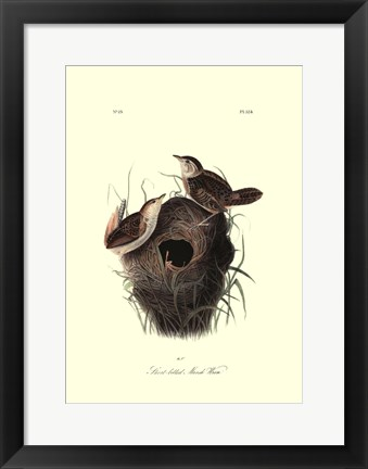 Framed Short-billed Marsh Wren Print