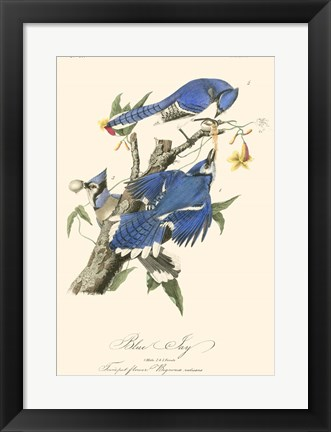 Framed Audubon Blue Jays Print