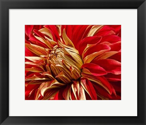 Framed Graphic Dahlia IV Print