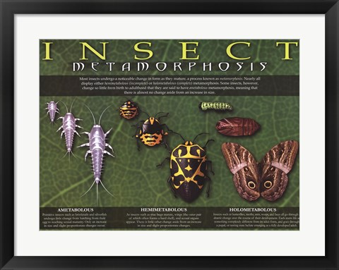 Framed Insect Metamorphosis Print