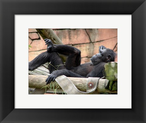 Framed Chimp - Just relaxing Print