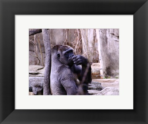 Framed Gorilla - Perhaps? Print