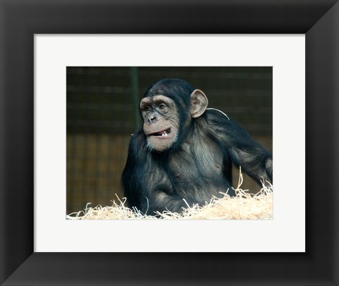 Framed Funny Monkey Print