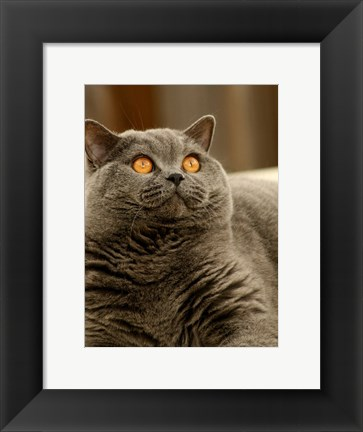 Framed Brittish Shorthair Print