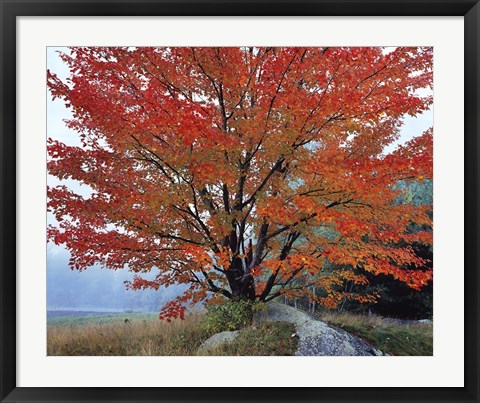 Framed Wild Red Maple and Fog, New Hampshire Print