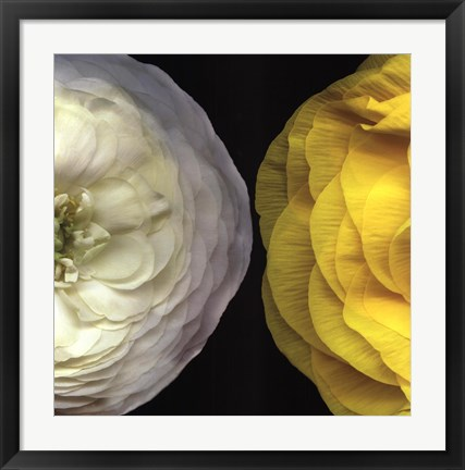 Framed Ranunculus Right Print