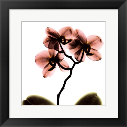 Framed Crystal Flowers X-Ray, Orchid Print