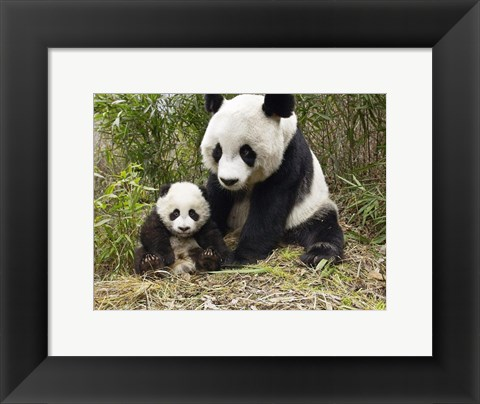 Framed Panda Mother and Cub Print