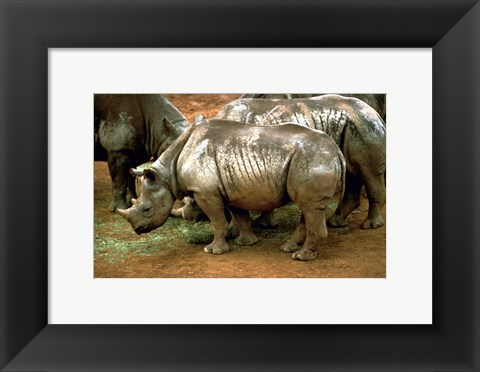 Framed Black Rhinoceros in Africa Print