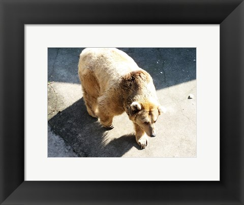 Framed Brown Bear Print