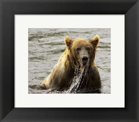 Framed Brown Bear Fishing Print