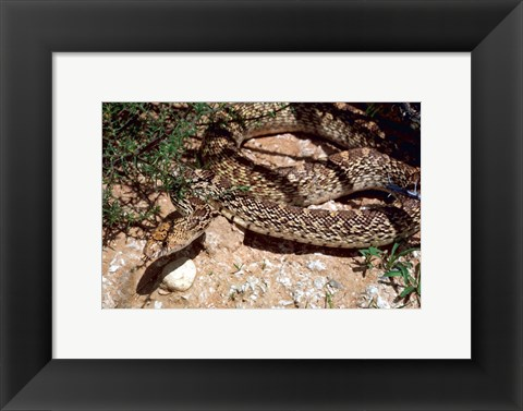 Framed Bull Snake in New Mexico Print