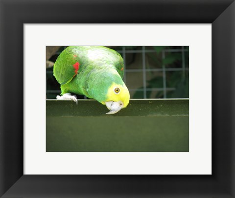 Framed Cheeky Parrot Print